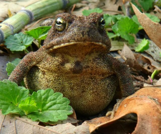 An American Toad (Bufo americanus)  Tale